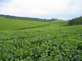 tea plantation farm uganda