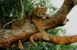 tree climbing lion safari