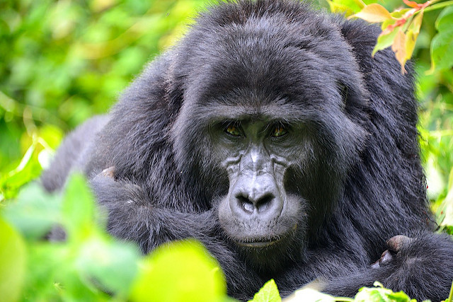 Gorilla Trekking Rwanda Vs Uganda Vs Congo, Comparing Best Gorilla Safaris in Africa