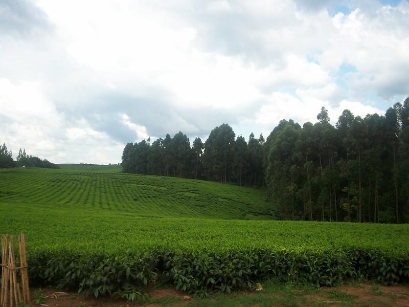 uganda tea agrotourism