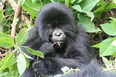 volcanoes national park rwanda safaris