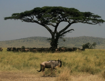 wildebeest safaris
